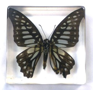Insect Paperweight - Butterfly, DBT0224