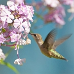 Zen Puzzle Teaser - Ruby-throated Hummingbird